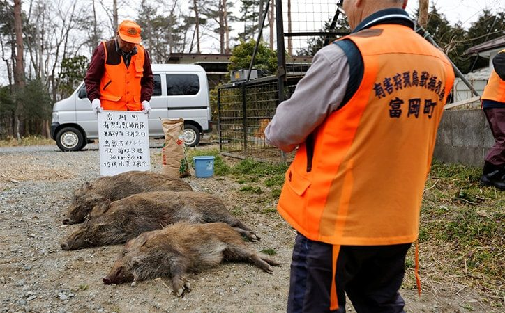 Wild boars killed in Fukushima